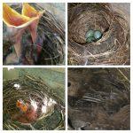 Merel in nest